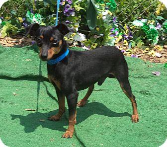 Miniature Pinscher Dog for adoption in Marietta, Georgia - DIGGI
