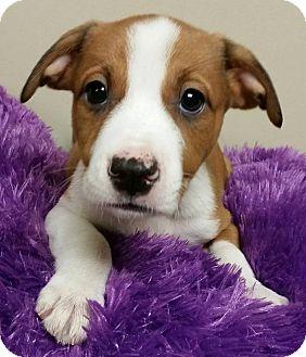 Boxer/Labrador Retriever Mix Puppy for adoption in Struthers, Ohio - Skinny