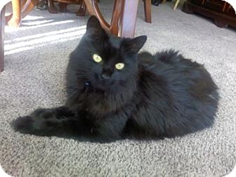 Maine Coon Cat for adoption in Rocklin, California - LOVE
