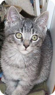 Domestic Shorthair Kitten for adoption in Ann Arbor, Michigan - Lucas McCain