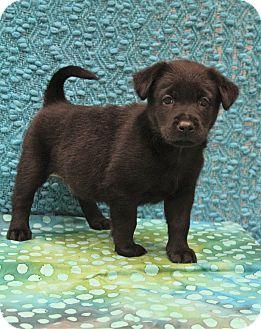 Labrador Retriever/Husky Mix Puppy for adoption in Southington, Connecticut - Emmett