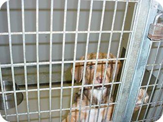 German Shepherd Dog/Australian Shepherd Mix Dog for adoption in Olympia, Washington - 43352