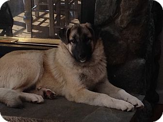 Anatolian Shepherd Mix Puppy for adoption in Bedford Hills, New York - Zeus