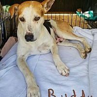 Adopt A Pet :: Buddy - Lawrenceburg, TN