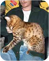 Bengal Cat for adoption in Los Angeles, California - Roo