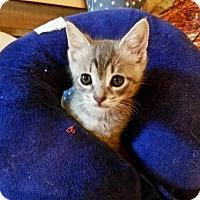 Adopt A Pet :: Venus - Chicago, IL