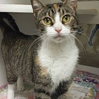 Domestic Shorthair Cat for adoption in Joplin, Missouri - Rosie Cc 111772