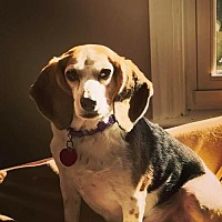 Beagle Mix Dog for adoption in Mechanicsburg, Pennsylvania - Belle