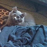 Domestic Mediumhair Cat for adoption in Elyria, Ohio - Furby