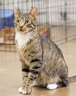 Domestic Shorthair Cat for adoption in Montclair, California - Joe