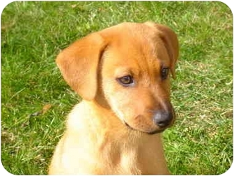 Beagle Mix Puppy for adoption in West Milford, New Jersey - Bailey