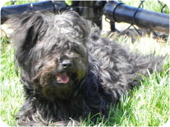 Yorkie, Yorkshire Terrier Mix Dog for adoption in El Cajon, California - Hannah