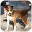 Photo 3 - Australian Shepherd Mix Dog for adoption in Cleveland, Georgia - Sissy