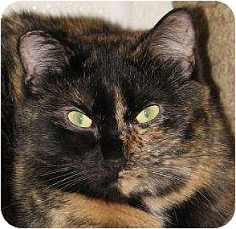 Domestic Mediumhair Cat for adoption in Woodstock, Illinois - Jaspur