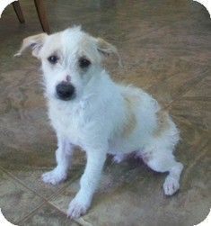 Jack Russell Terrier/Parson Russell Terrier Mix Dog for adoption in Tustin, California - Buddy