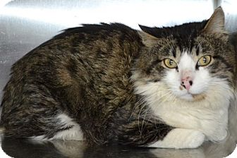 Maine Coon Cat for adoption in Elyria, Ohio - Fuzzy