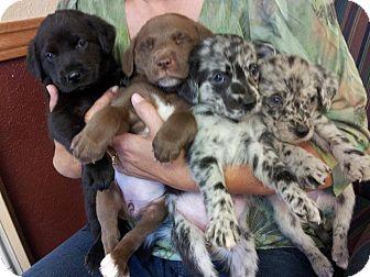 Labrador Retriever/Blue Heeler Mix Puppy for adoption in Wethersfield, Connecticut - Yankee, Doodle, Sam & Feedom