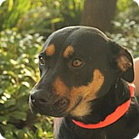 Adopt A Pet :: Roxy - Mission Viejo, CA