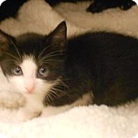 Adopt A Pet :: Boots - Maywood, NJ