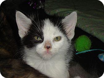 Domestic Shorthair Kitten for adoption in Grayslake, Illinois - Robin