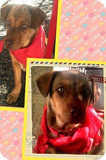 Labrador Retriever Mix Puppy for adoption in Apache Junction, Arizona - Roxi