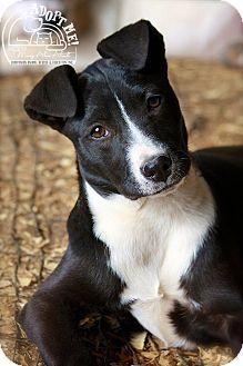 Border Collie/Terrier (Unknown Type, Medium) Mix Puppy for adoption in Wilmington, Delaware - Melba