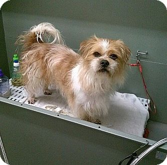 Shih Tzu/Terrier (Unknown Type, Small) Mix Dog for adoption in Harmony, Glocester, Rhode Island - Beethoven