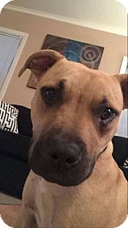 Shepherd (Unknown Type)/American Pit Bull Terrier Mix Dog for adoption in West Allis, Wisconsin - Tess