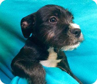 Pit Bull Terrier/Terrier (Unknown Type, Medium) Mix Puppy for adoption in Visalia, California - Mello