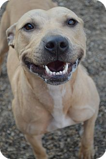 Pit Bull Terrier Mix Dog for adoption in Toledo, Ohio - Scratchy