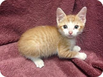Domestic Shorthair Kitten for adoption in Tallahassee, Florida - David Bowie