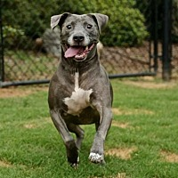 American Staffordshire Terrier/American Pit Bull Terrier Mix Dog for adoption in Newnan, Georgia - Boone
