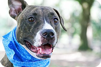 Pit Bull Terrier Mix Dog for adoption in Odessa, Florida - Klaus
