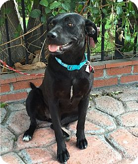 Labrador Retriever Mix Dog for adoption in Corona, California - CAMILLA