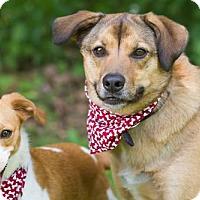 Shepherd (Unknown Type) Mix Dog for adoption in Ashland, Kentucky - Teddy