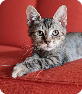 Domestic Shorthair Kitten for adoption in Brooklyn, New York - Jem