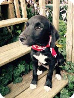 Labrador Retriever Mix Puppy for adoption in Marlton, New Jersey - Baby Floyd