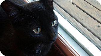 Domestic Shorthair Kitten for adoption in Cincinnati, Ohio - Beau