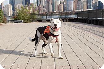 American Bulldog Mix Dog for adoption in Jersey City, New Jersey - Duke Ellington