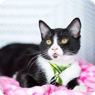 Domestic Shorthair Kitten for adoption in Montclair, California - Oreo