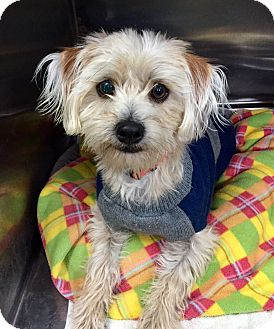 Shih Tzu/Terrier (Unknown Type, Small) Mix Dog for adoption in Las Vegas, Nevada - Jedi