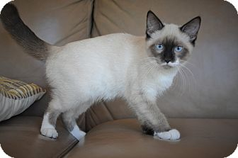 Siamese Kitten for adoption in New Smyrna Beach, Florida - FLOWER- Seal Point Siamese!