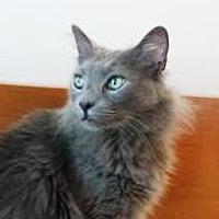 Domestic Longhair Cat for adoption in Greenville, Delaware - Riley - DLH (FCID# 01/17/17-203 Landenberg Foster)
