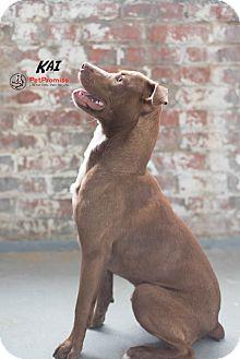 Pit Bull Terrier Mix Puppy for adoption in Columbus, Ohio - Kai