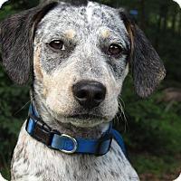 Pointer/Hound (Unknown Type) Mix Puppy for adoption in Spring Valley, New York - Luke