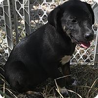 Adopt A Pet :: Lab/Newfoundland mix females - East Hartford, CT