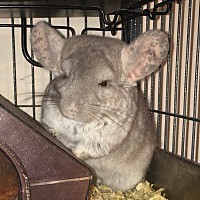 Adopt A Pet :: Millie & Chichi - NJ - Granby, CT