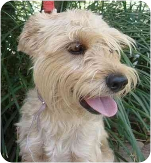 Terrier (Unknown Type, Small)/Wirehaired Fox Terrier Mix Dog for adoption in Coral Springs, Florida - Daisy