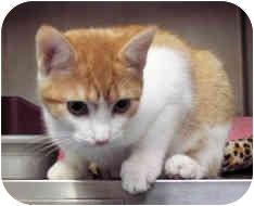 Domestic Shorthair Kitten for adoption in Milton, Massachusetts - Raine