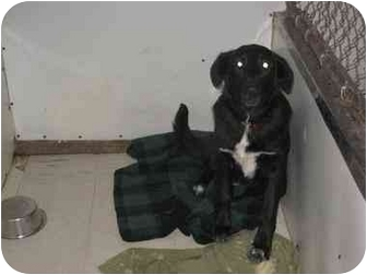 German Shepherd Dog/Labrador Retriever Mix Puppy for adoption in New Richmond,, Wisconsin - Pups 11